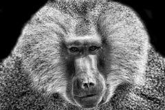 Baboon portrait. Portrait of a baboon monkey Papio hamadryas royalty free stock photo