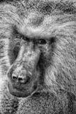 Baboon portrait. Portrait of a baboon monkey Papio hamadryas stock photo