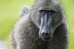 Baboon Portrait, South Africa Stock Photos