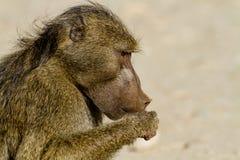 Baboon Royalty Free Stock Photo