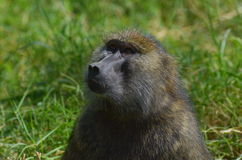 Baboon. A portrsit of a baboon Stock Photography