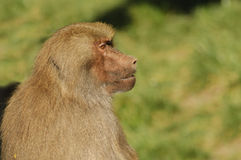 Baboon in profile Royalty Free Stock Photography