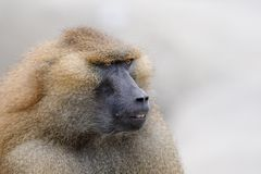 Baboon profile Royalty Free Stock Photography