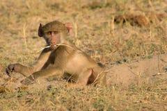 Baboon race Stock Photos