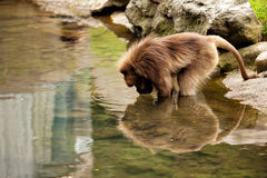 Baboon reflection Royalty Free Stock Photos