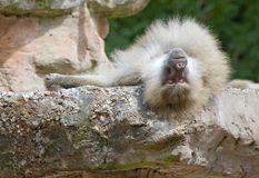 Baboon Resting Stock Images