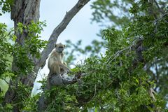 Baboon resting in a large tree. A young baboon resting in a large tree whilst watching the camera royalty free stock images