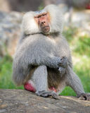 Baboon Resting Like a Human. A baboon resting on a rock in a similar position to a human resting Royalty Free Stock Photography