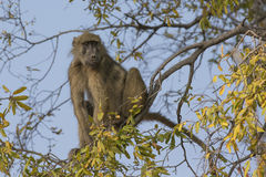 Baboon resting in tree over river Royalty Free Stock Photos