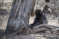 Baboon resting under a tree Stock Photos