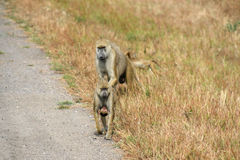 Baboon on the road Stock Photos