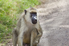 Baboon on road in Kenya Royalty Free Stock Photography