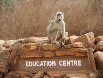 Baboon on a rock. Photo of a baboon taken in Kenya royalty free stock photos