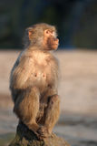 Baboon on a rock Royalty Free Stock Photo