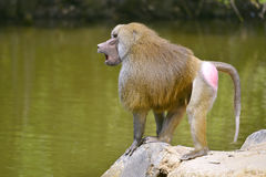 Baboon on rock. Baboon (Papio) standing on rock and seen from profile royalty free stock photography