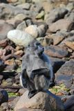 Baboon on the rocks Stock Photography