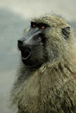 Baboon's Fury Royalty Free Stock Photos