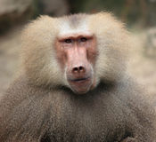 Baboon`s portrait. Baboons are old world monkeys which means they originate in Africa and Asia stock images