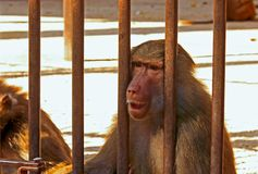 Baboon sad Royalty Free Stock Photography