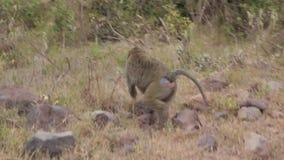 Baboon in safari stock video footage