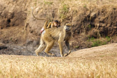 Baboon in the savannah. Baboon with her child on her back, in the savannah stock image