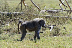 Baboon in the savannah. Baboons in the natural habitat. Africa. Kenya stock images