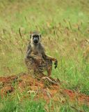 Baboon in the Savannah Grassland. A male baboon looks out into the distance in the Savannah Grassland of Taita Hills wildlife Sanctuary, Voi wilderness travel stock photo