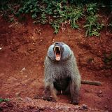 Baboon. In savannah of tanzania royalty free stock photos