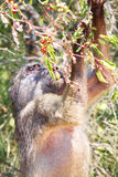 Baboon searching food. A big baboon searching for food in a tree royalty free stock photos
