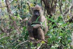 Baboon In The Serengeti Royalty Free Stock Photos