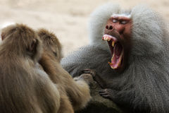 Baboon Showing His Teeth Royalty Free Stock Images