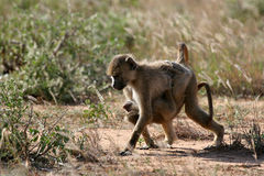 Baboon Siblings. Juvenile baboon taking care of its younger sibling Royalty Free Stock Photo