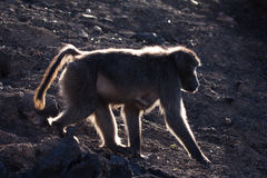 Baboon silhouette. Backlit profile of female chacma baboon walking over bare ground Royalty Free Stock Photo
