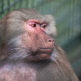 Baboon (Simia hamadrya) Stock Photos