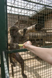 The baboon sits in a cage. And takes an apple Stock Photography