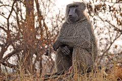 Baboon Sits On Grassy Hill In Uganda Africa Royalty Free Stock Image