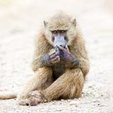 Baboon sits on the ground and looks at his paw. Wild nature. A baboon monkey is sitting on the sand and looking at its paw, wildlife. Kenya, a national park stock photo