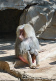 Baboon sits near the cave entrance. Baboon sits on the sunny place near the cave entrance cynocephalus, Papio cynocephalus, Guangzhou, Safari Park, China stock image