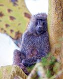 Baboon sits on a tree and sleeps. Wild nature. Kenya national park, wildlife. A baboon monkey sits on a tree with closed eyes stock photo