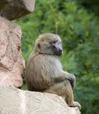 Baboon Sitting Royalty Free Stock Photos