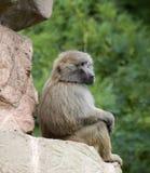 Baboon Sitting Royalty Free Stock Photos