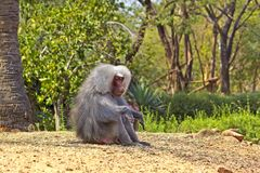 Baboon. Sitting alpha male baboon monkey royalty free stock photography