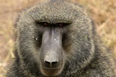 Baboon. Sitting baboob in Serengeti National Park, Tanzania royalty free stock photography
