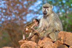 Baboon. Sitting baboob in Serengeti National Park, Tanzania royalty free stock image