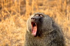 Baboon. Sitting baboob in Serengeti National Park, Tanzania royalty free stock photos