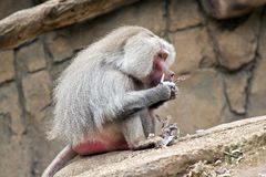 Baboon. The baboon is sitting eating leaves stock photos