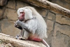 Baboon. The baboon is sitting eating leaves stock photography