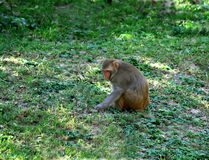 Baboon sitting on green field. India Stock Image