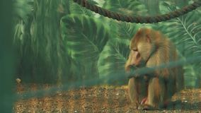 Baboon sitting on the ground and chewing food papio cynocephalus stock video footage
