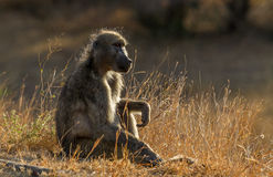 Baboon Sitting Stock Photos